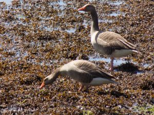 Greylag geese on the shores of Strangford Lough
