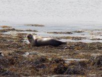 Strangford Lough Seals